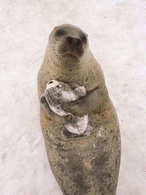 Esta foca con foquita de peluche es lo más tierno que verás