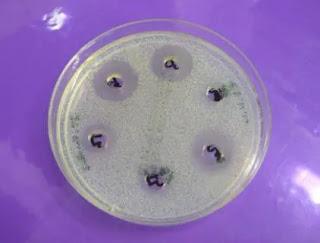 activité antimicrobienne du miel