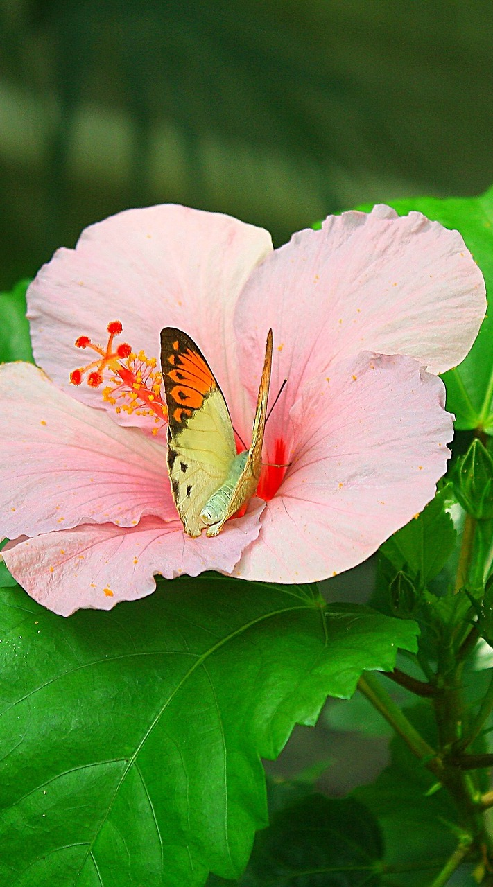 A butterfly on a pink flower.
