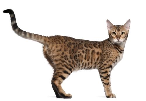 Asian Cat Breeds 118