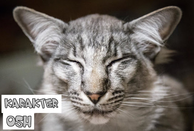 Karakter Kucing Oriental Shorthair
