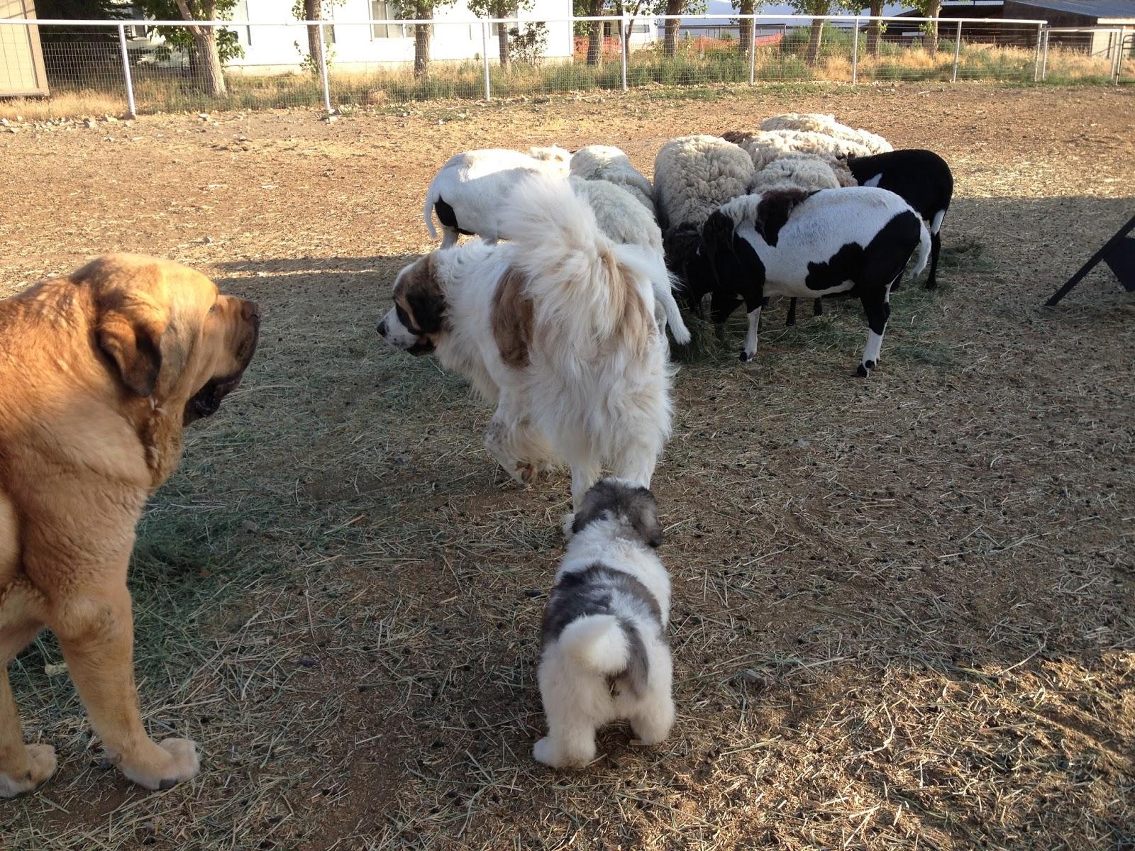 Livestock Guardian Dog Blog Spanish Mastiff Or Pyrenean Mastiff