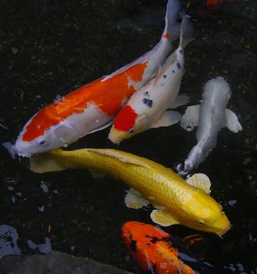 Ikan Koi, Perikanan, Ternak Ikan, Jenis ikan hias Air Tawar Untuk Akuarium, Ikan koi, Ikan Koki, Ikan Sapu-Sapu, Ikan Arwana, Ikan man fish, Ikan cupang, Macam-Macam Ikan Hias Air tawar