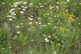 "a field of ""invasive"" ox-eye daisies and birdsfoot trefoil"