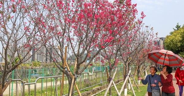 台中太平|麗園公園|櫻緣道|三百多棵山櫻花|吉野櫻|河津櫻|公園就有美麗櫻花