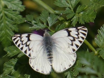 Mariposa lechera troyana (Tatochila mercedis)