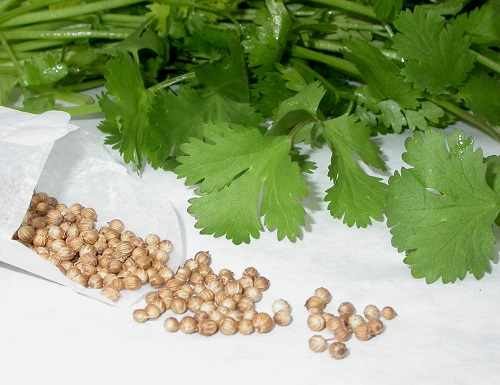 The benefits of coriander for sex