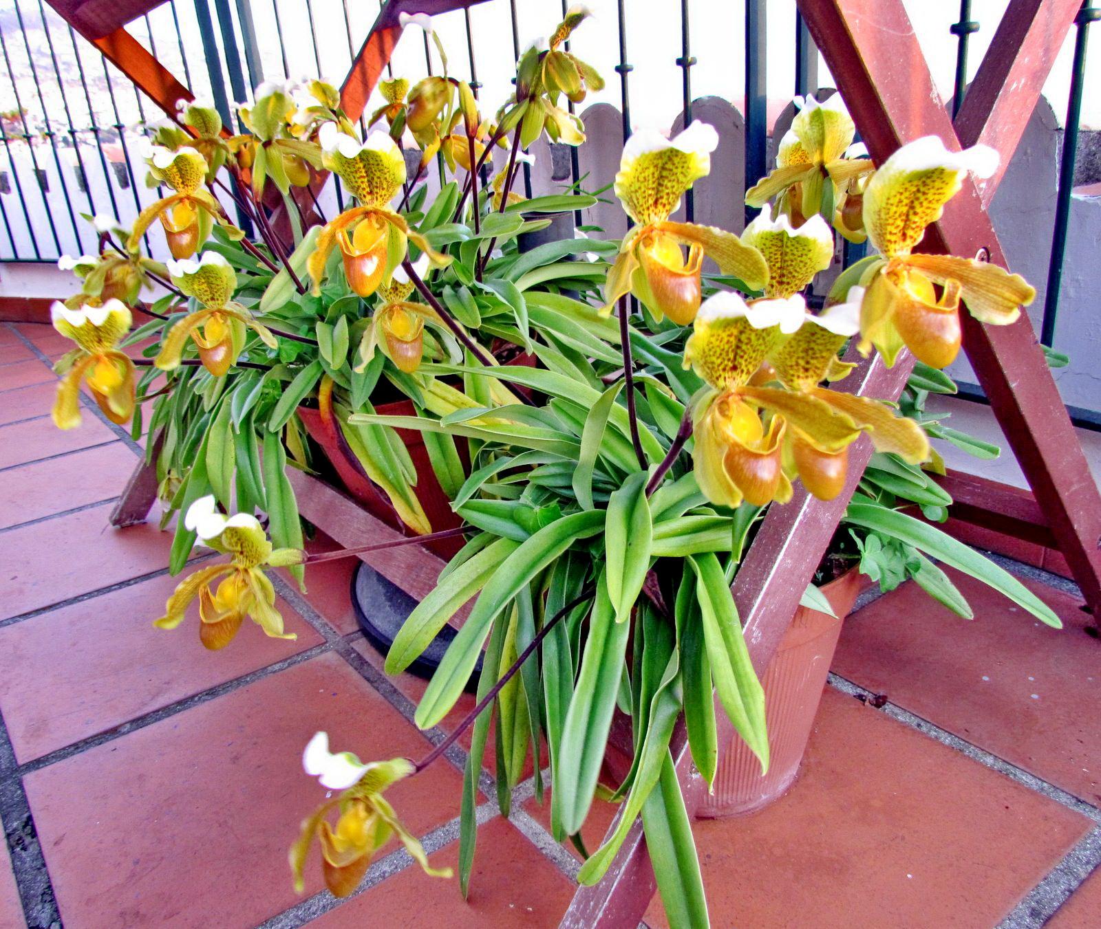 """Madeira flowers named """"sapatinhos"""""""