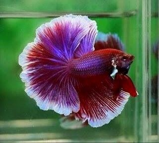 Halfmoon Red Lavender