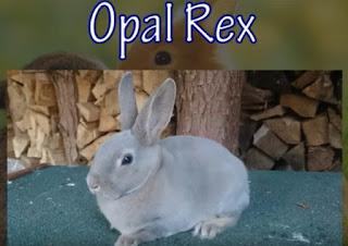 Warna opal kelinci jenis rex yang mahal