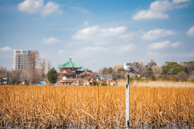 水鳥,上野公園,不忍池