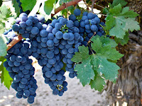 Zinfandel Grapes Fruit Pictures