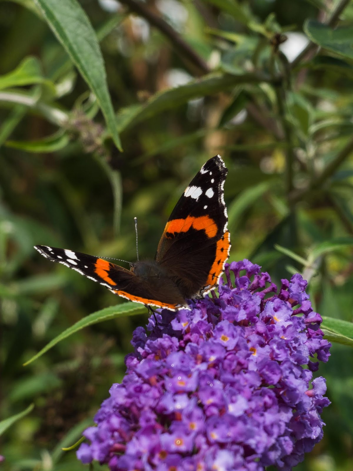 A Red Admiral sipping nectar from purple Butterfly bush flowers.