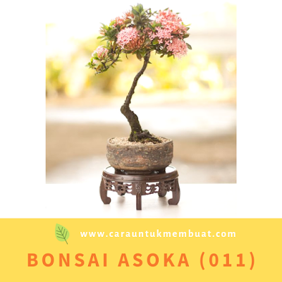 Bonsai Asoka (011)