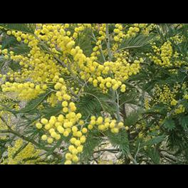 Gold Country Girls Plants I Know And Love No 14 The Acacia Tree