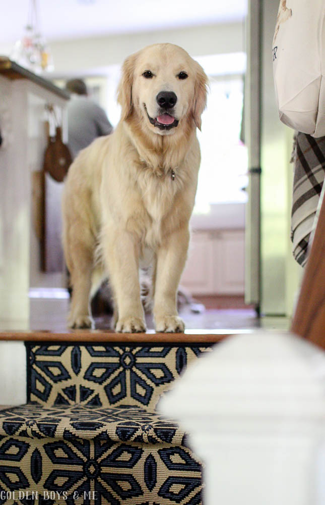 Golden retriever welcomes visitors - www.goldenboysandme.com