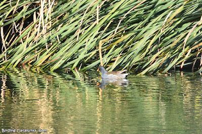 Polla d'aigua (Gallinula chloropus)