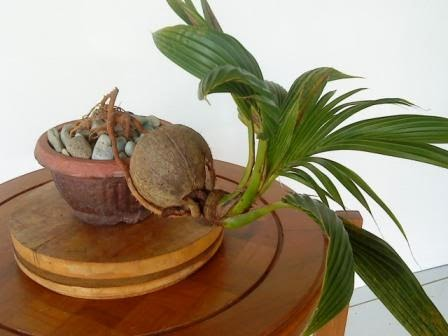 5 Trik Dasar Membuat Bonsai Kelapa Centralbonsai Com Berbagi