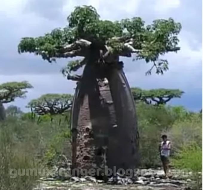 Pohon Botol