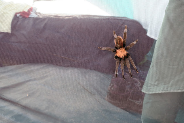 Tarantula on my tent, Big Bend National Park, Texas. September 2017.