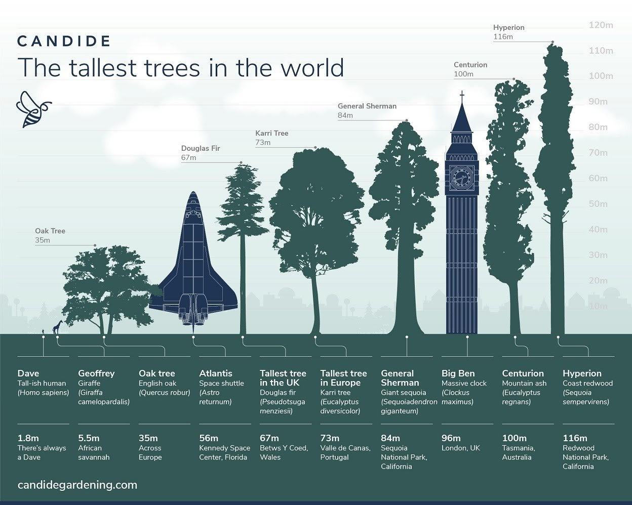 The Tallest Trees in the World #infographic