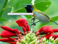 Download Suara Burung Kolibri Sogok Ontong Mp3 Untuk Masteran