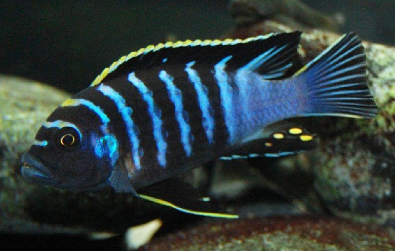 Gambar jenis jenis ikan cichlid ( Malawi Cichlids ) - Pola Warna lumbila