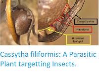 https://sciencythoughts.blogspot.com/2018/09/cassytha-filiformis-parasitic-plant.html