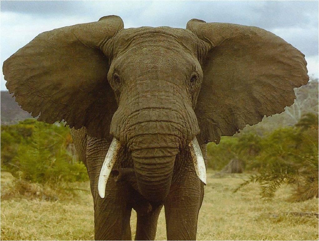 el ojo del buitre elefante elephantidae. Black Bedroom Furniture Sets. Home Design Ideas
