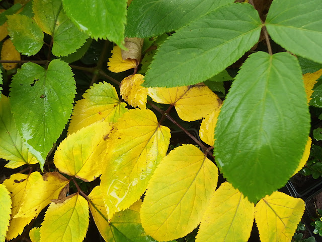 Autumnal yellows contrast with the green foliage of summer