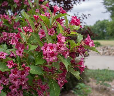 Weigela Care: How To Grow Weigela | Tree Homes