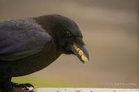 American crow stuffing up with peanuts – Charlottetown, PEI – Dec. 12, 2015 – by Matt Beardsley