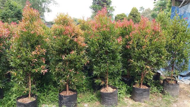 Jual Tanaman Pucuk Merah di Sentul - Tukang Rumput Bogor