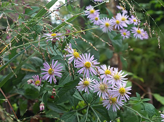 Astern Blütezeit
