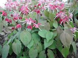 obat perkasa ailos obat kuat herbal dr boyke obat kuat