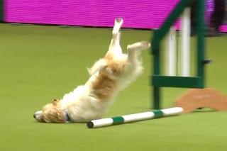 queda de cão em salto