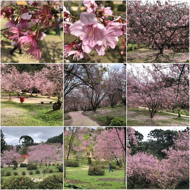 O que ver e fazer em Campos do Jordão-SP? Parque e Festival das Cerejeiras