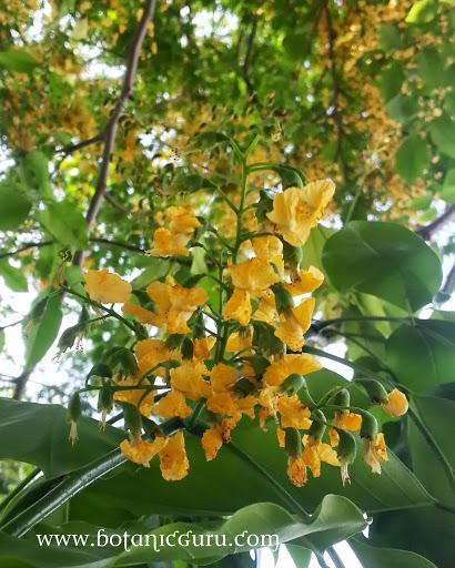 Pterocarpus indicus, Burmese Rosewood flowers