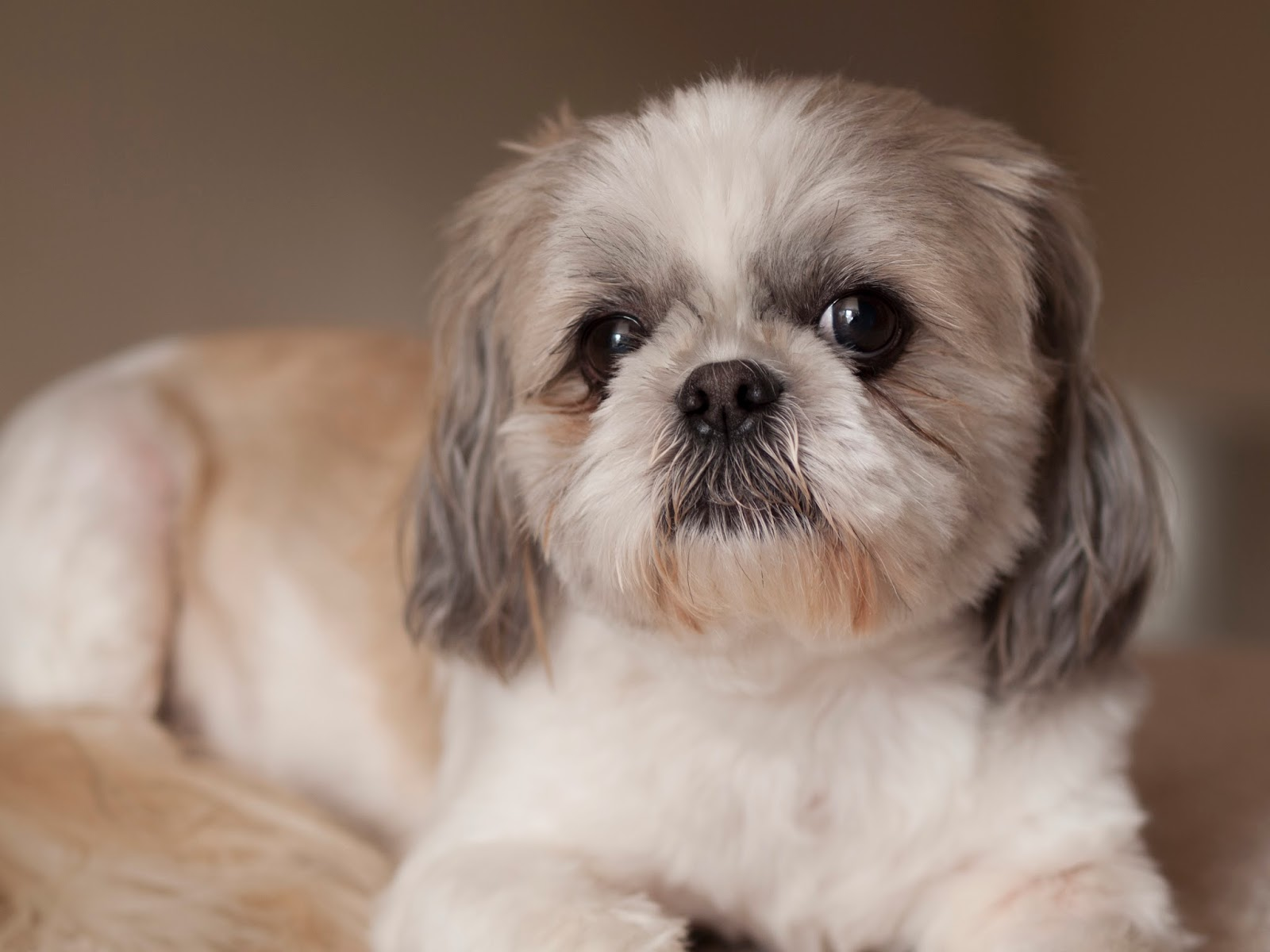 shih tzu characteristics the shih tzu mom interview with a shih tzu 2140