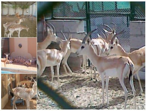 مشروع تربية الغزال الافريقي