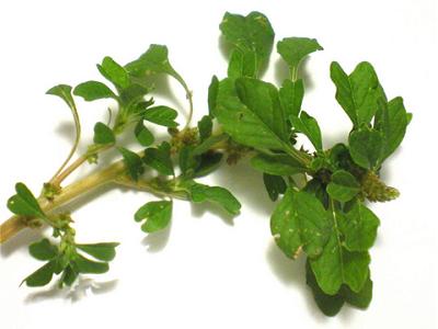 Những cách chữa ho có đờm tại nhà với rau dền