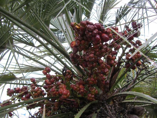 Frutti Maturi Chamaerops humilis
