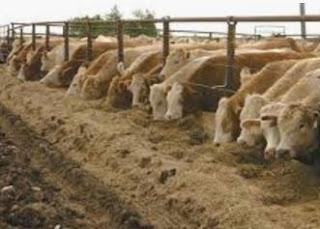 Panduan Lengkap Cara Membuat Pakan Ternak Sapi Dengan Fermentasi