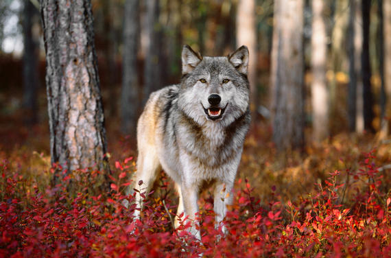 Free Desktop Wallpaper Fall Foliage White Wolf Breathtaking Photos Of Wolves In The Woods