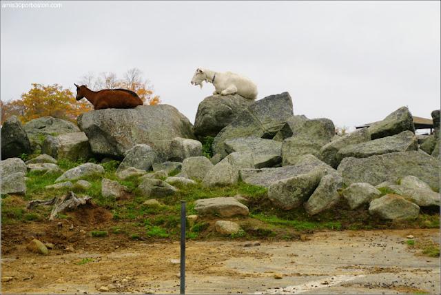 Cabras en la Granja Red Apple Farm en Massachusetts