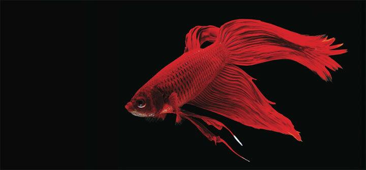 Fakta Unik dan Menarik tentang Ikan Cupang