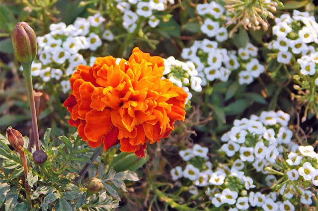 Sweet-Alyssum-and-Marigold.jpg