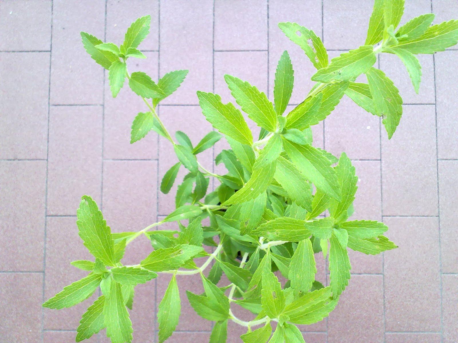 Tutti pazzi per le piante arriva la stevia for Stevia pianta