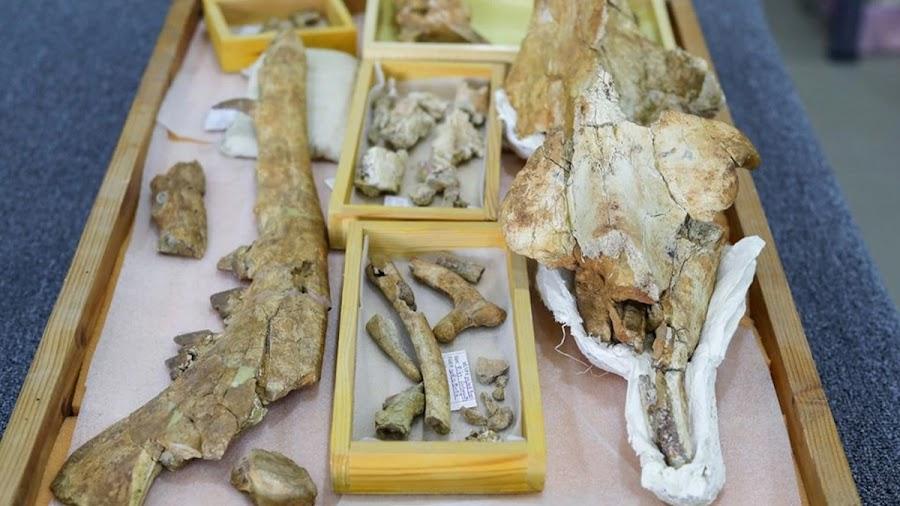 """Τμήματα του απολιθώματος 43 εκατομμυρίων ετών ενός άγνωστου μέχρι τώρα τετράποδου αμφιβίου φάλαινας που ονομάζεται """"Phiomicetus Anubis"""", και ανακαλύφθηκαν στην όαση Fayum στη Δυτική Έρημο της Αιγύπτου."""