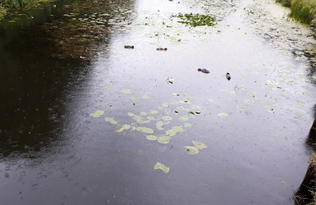 Rain drop ripples on a canal.  There are patches of green lily pads and the water is very dark.